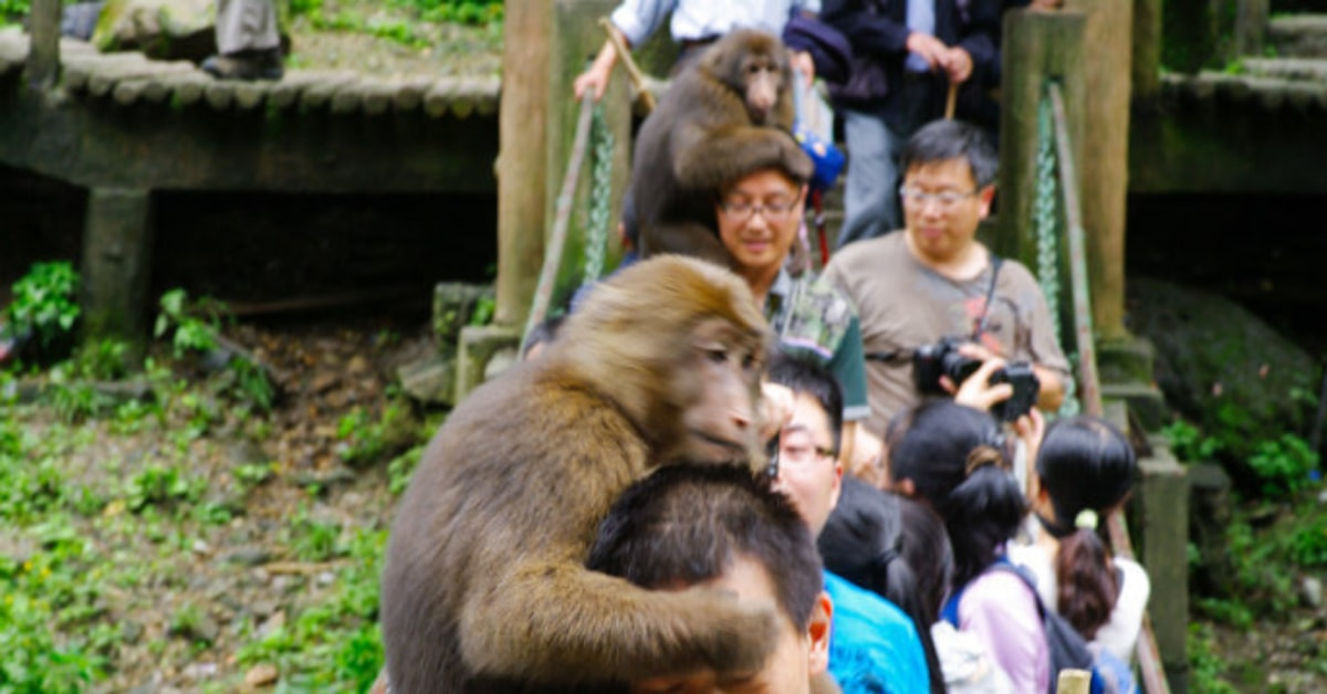 unusual things to do in China: Monkey-around-at-Mt.-Emei