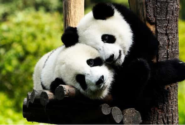 panda, chongqing, living in chongqing